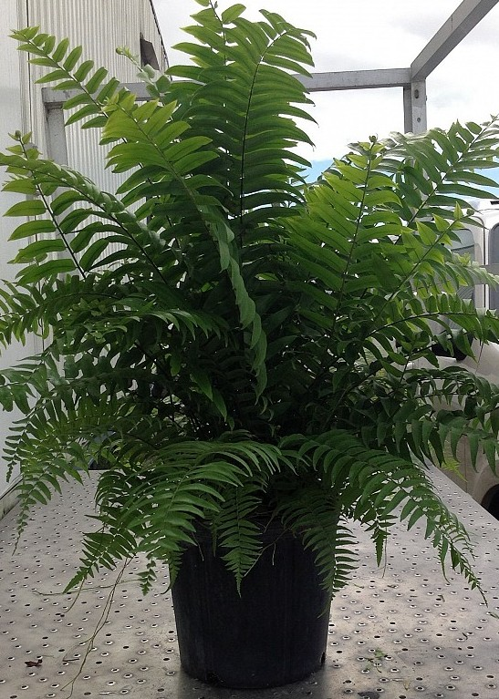 Spring Fern Sale Now - Apr. 4